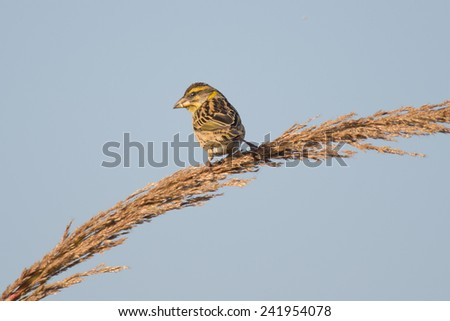 Paddy-field indian pipit in japan - stock photo