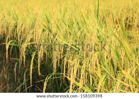 Paddy field or rice field in Ayutthaya, Thailand. - stock photo