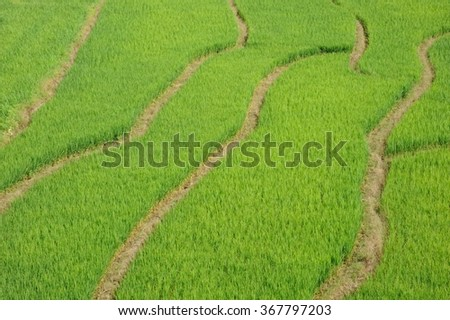 paddy field Rice field