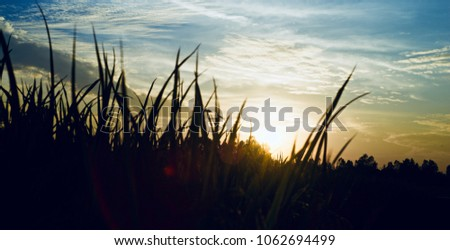 Paddy field silhouette isolated unique natural stock photograph