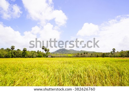 Paddy field,trees with blue sky background.Close up,select focus with shallow depth of fields:ideal use for background.