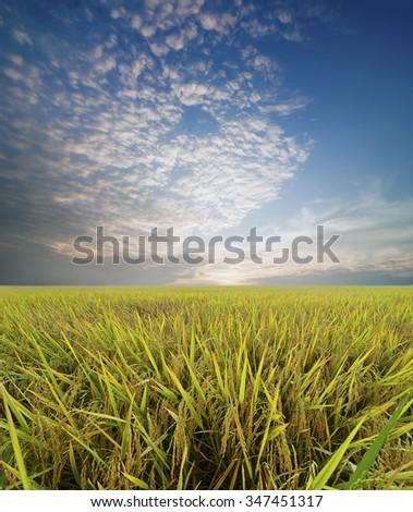 Paddy field , Vietnam