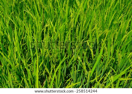 Paddy field wallpaper