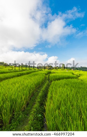 Paddy field with cloud and blue sky