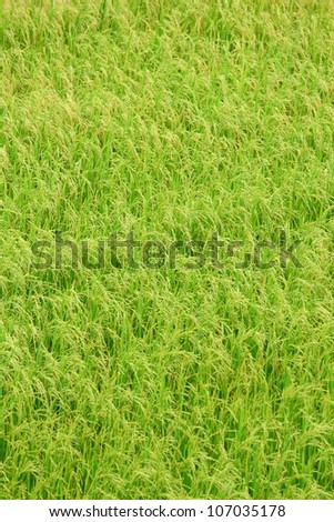 Paddy field with produce grains - stock photo