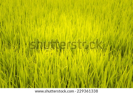 paddy field with ray of lights - stock photo
