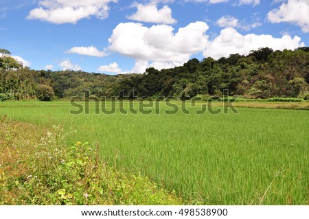 Paddy fields in Kodagu (Coorg) district of Karnataka, India.