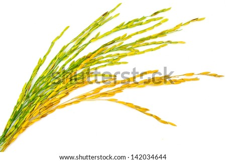 Paddy of thailand - stock photo