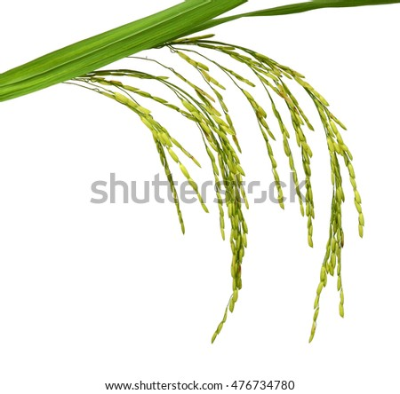 Paddy of thailand