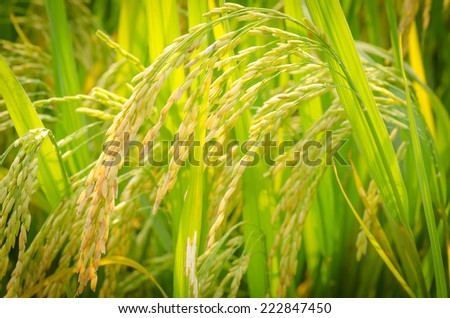 Paddy rice - stock photo