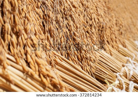 Paddy rice background, Paddy rice festival in Thailand - stock photo