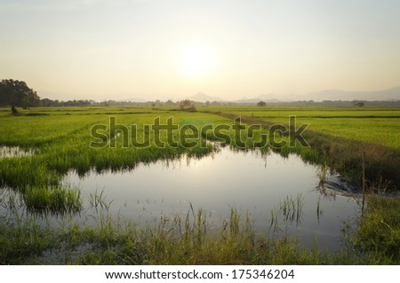 Paddy rice field background and sunset