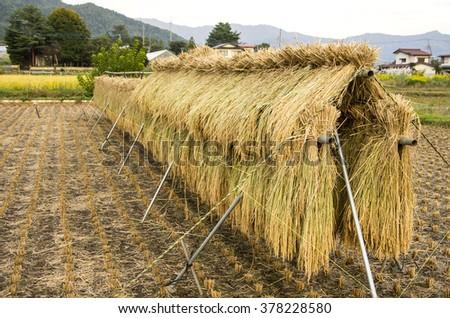 paddy rice field hang up, Japan - stock photo