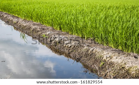 Paddy rice field(selective focus). - stock photo