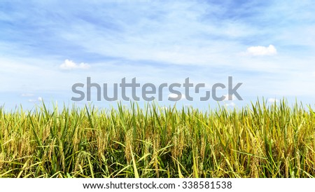 Paddy rice field with blue sky background