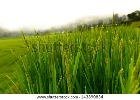 Paddy Rice Fields - stock photo