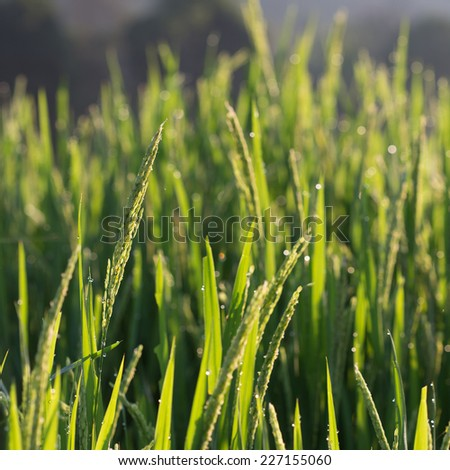 paddy rice fields in the morning of agriculture cultivation - stock photo