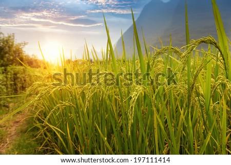 Paddy rice harvest - stock photo