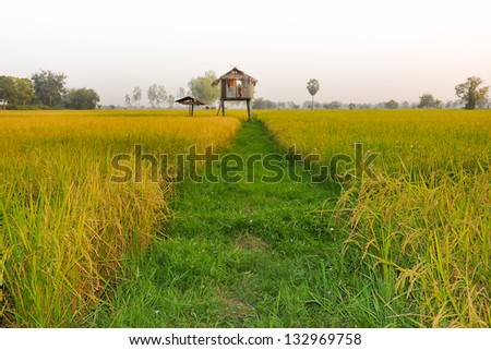 paddy rice in field - stock photo