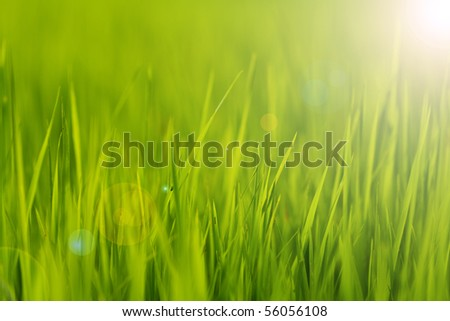 paddy rice in Green