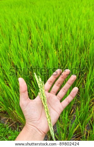 Paddy rice in hand with green rice field background,
