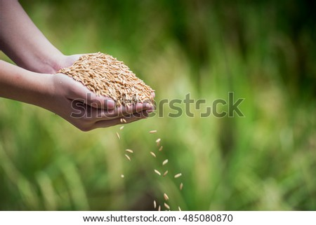 paddy rice in hands holding in blur field