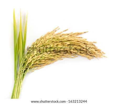 paddy rice seed  on a  white background - stock photo