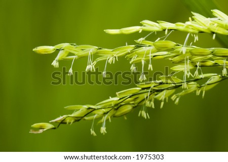 paddy stalk and flowers