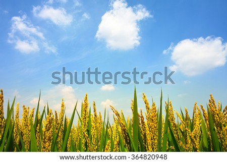 Paddyfield under sky