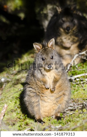 Pademelon at Cradle Mountain with sinister 'evil twin' lurking in the shadows. Pademelons are small marsupials of the genus Thylogale. They are usually found in forests. Tasmania, Australia