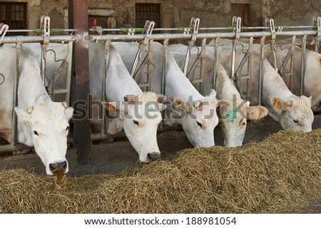 Paderno Franciacorta (Bs), Italy, some dairy cows in a herd