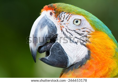 Page parrot closeup. - stock photo