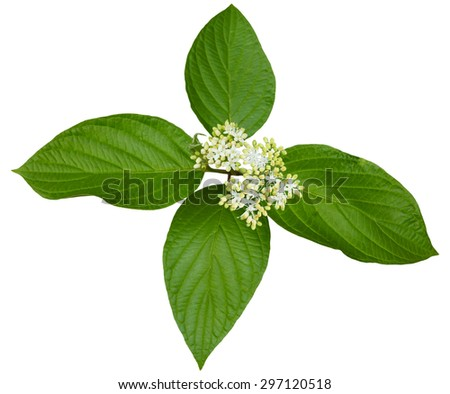 Pagoda Dogwood flower and  Leaves isolated on white - stock photo
