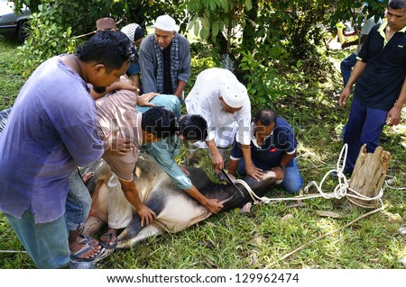 PAHANG, MALAYSIA - OCTOBER 26: Unidentified Malaysian Muslims help in slaughtering a cow during Eid Al-Adha Al Mubarak, the Feast of Sacrifice on October 26, 2012 in Pahang, Malaysia. - stock photo
