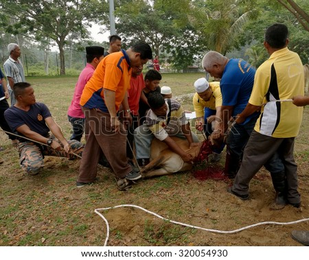 PAHANG, MALAYSIA - SEPTEMBER 24: Unidentified Malaysian Muslims help in slaughtering a cow during Eid Al-Adha Al Mubarak, the Feast of Sacrifice on September 24, 2015 in Pahang, Malaysia.