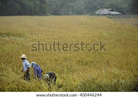 Pai, Mae Hong Sorn, Thailand - Circa November 2015 : farmers are harvesting in the paddy rice field.  - stock photo