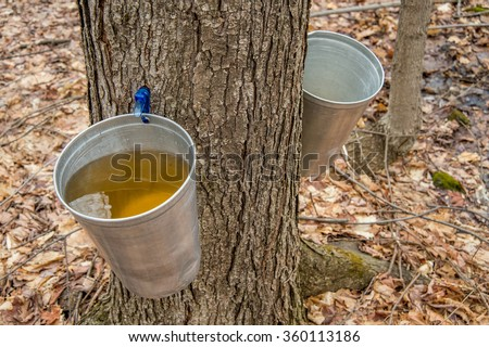 Pail Used Collect Sap Maple Trees Stock Photo 360113186