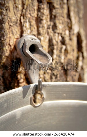 Pails in trees to collect sap of maple trees to produce maple syrup. - stock photo