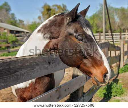 Paint Gelding looking over fence - stock photo