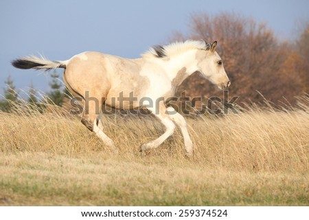 Paint horse foal running in freedom alone, in autumn - stock photo