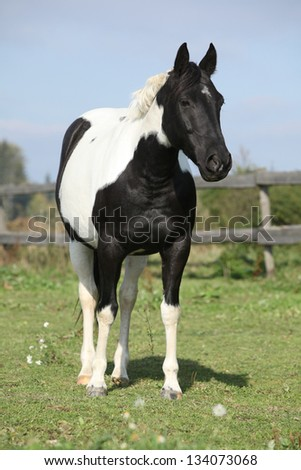 Paint horse mare standing on pasturage in front of grey fence