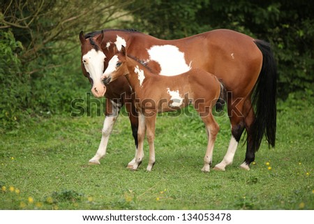 Paint horse mare with adorable foal on pasturage in summer - stock photo