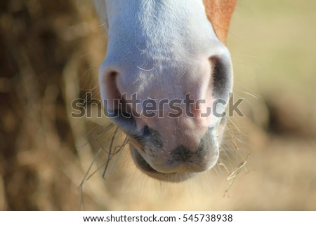 Paint horse nose eating hay.