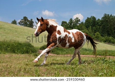 Paint horse running on the meadow - stock photo