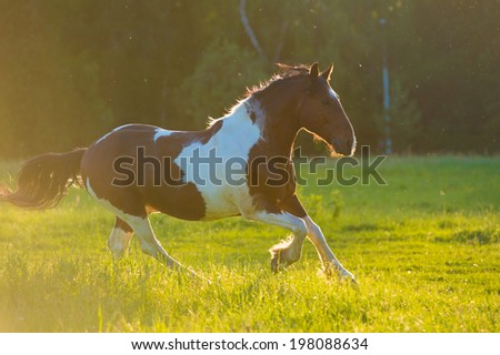 Paint horse runs on freedom - stock photo