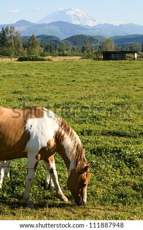 Paint horses enjoy the mild summer weather in a field near Mount Rainier, Washington. - stock photo