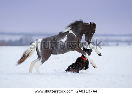 Paint miniature horse playing with a dog on snow field - stock photo