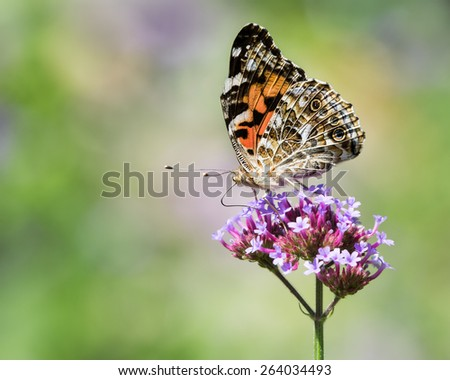 Painted Lady Butterfly on a Flower