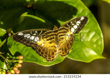 Painted lady butterfly sitting on green leaf in early morning sunlight - stock photo