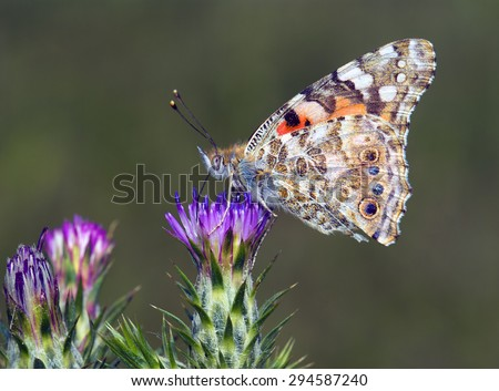 Painted Lady butterfly, Vanessa cardui - stock photo